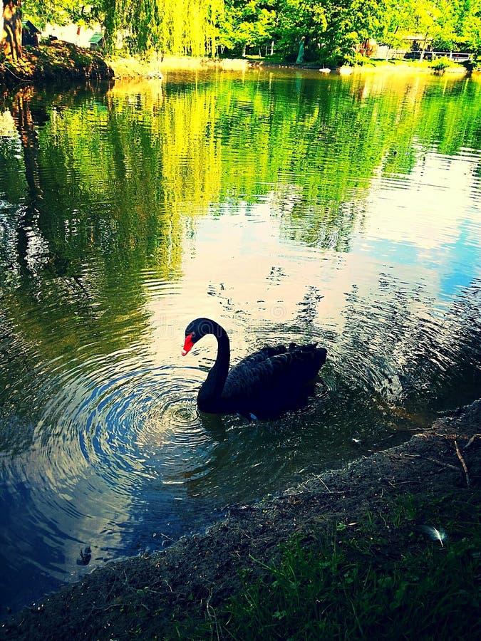Bevallige zwarte zwaan op het meer royalty-vrije stock afbeelding
