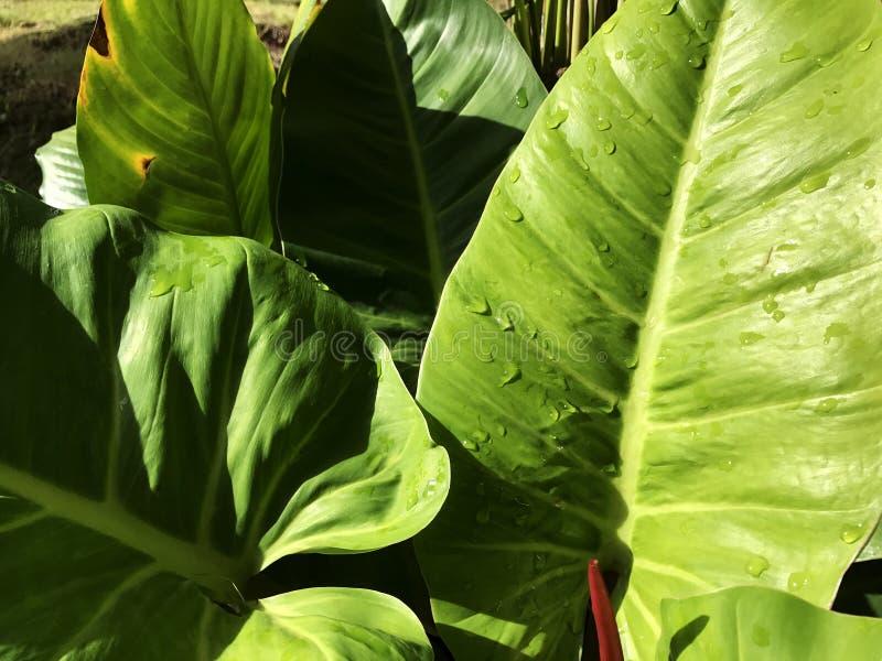 Bevattna droppe på det stora gröna bladet i solskendag arkivfoton