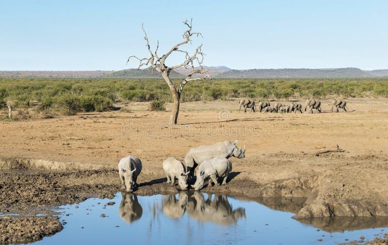 bevattna för hålrhinos arkivbild