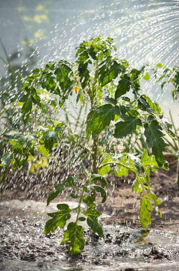 bevattna för plantatomat fotografering för bildbyråer