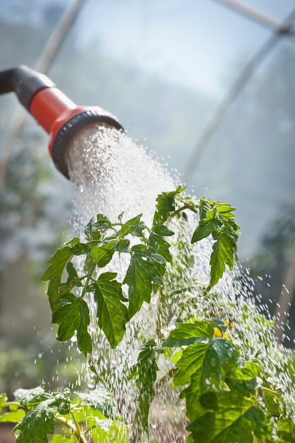 bevattna för plantatomat arkivfoton