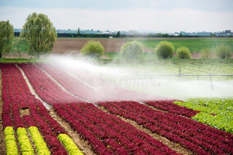 Bevattna grönsallatfält royaltyfria bilder