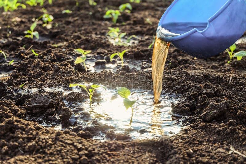 Bevattna med gödningsmedel av unga grönsakforsar Pepparplantor i öppen jordning royaltyfri bild