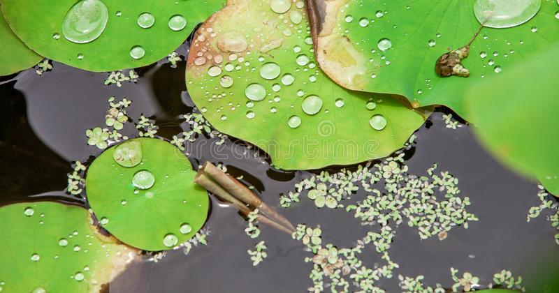 Bevattna p? lotusblommaleafen arkivbilder