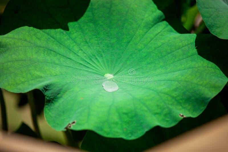 Bevattna p? lotusblommaleafen arkivfoto