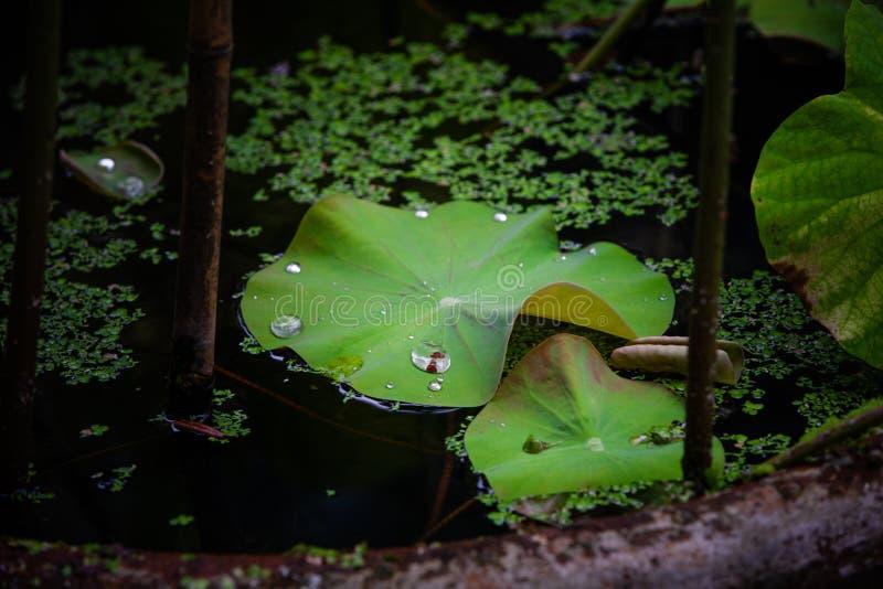 Bevattna p? lotusblommaleafen arkivfoton