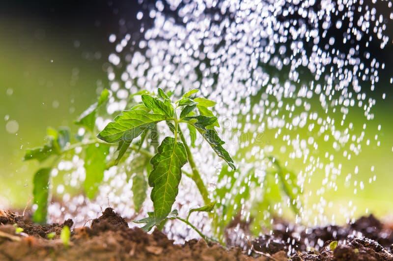 Bevattna plantatomaten i växthusträdgård arkivbilder