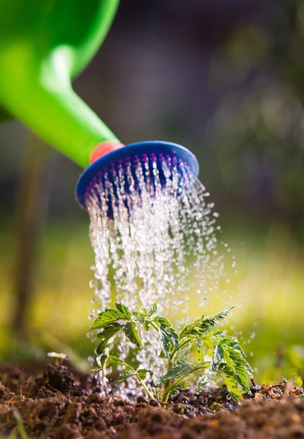 Bevattna plantatomaten i växthusträdgård arkivfoton