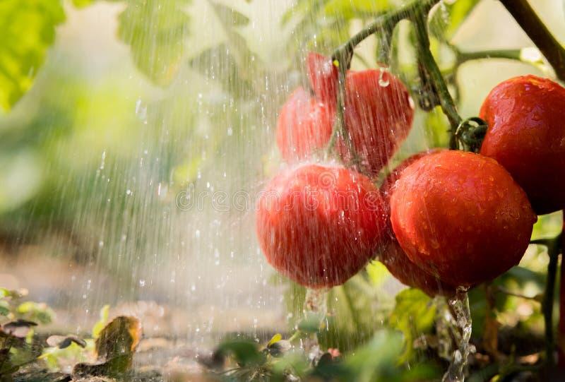 Bevattna plantatomaten i växthusträdgård royaltyfri bild