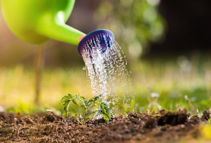 Bevattna plantatomatväxten i växthusträdgårdar royaltyfri foto