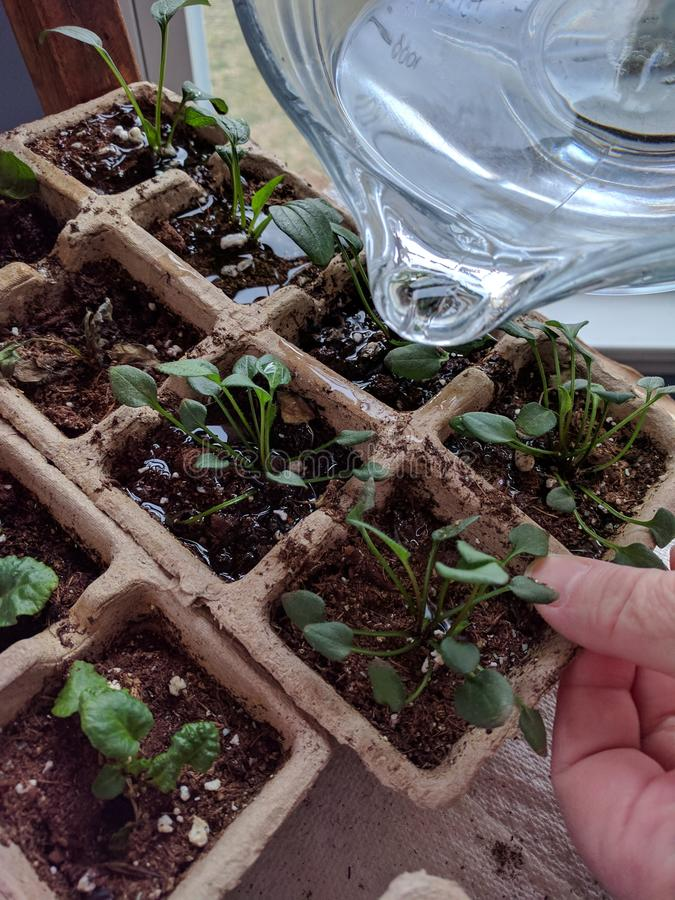 Bevattna plantor inom för att starta trädgården på våren royaltyfri foto