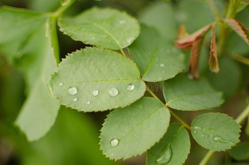 Bevattna tappar p? en gr?n leaf arkivbild