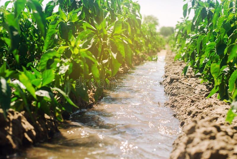 Bevattning av peppar i fältet Traditionellt naturligt bevattna Eco-v?nskapsmatch produkter Jordbruk och jordbruksmark kantjusteri arkivbild