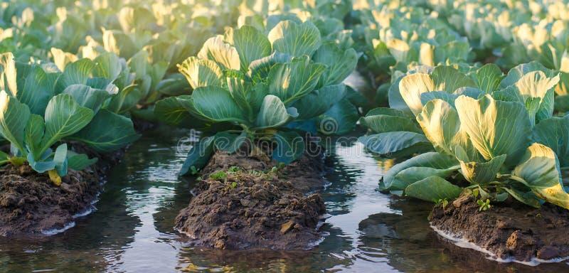Bevattningkål i fältet Traditionellt naturligt bevattna Eco-v?nskapsmatch produkter Jordbruk och jordbruksmark kantjusteringar Uk arkivbilder