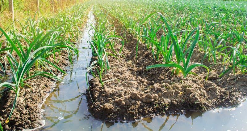 Bevattningpurjolök i fältet Traditionellt naturligt bevattna Eco-v?nskapsmatch produkter Jordbruk och jordbruksmark kantjustering arkivbilder