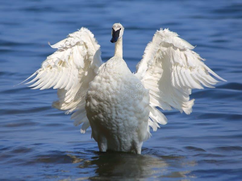 Bevederd Angel Flapping op Water stock foto's