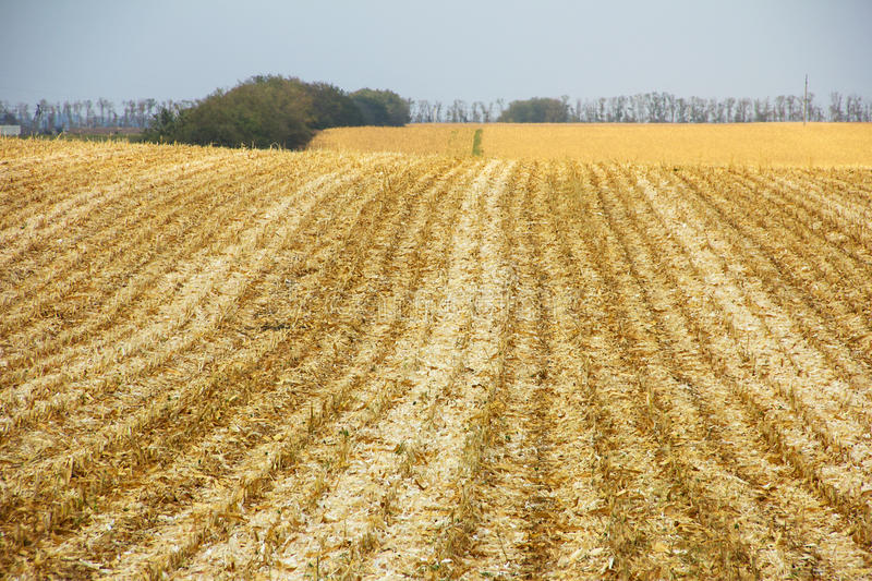 Beveled corn field stretches to the horizon royalty free stock images