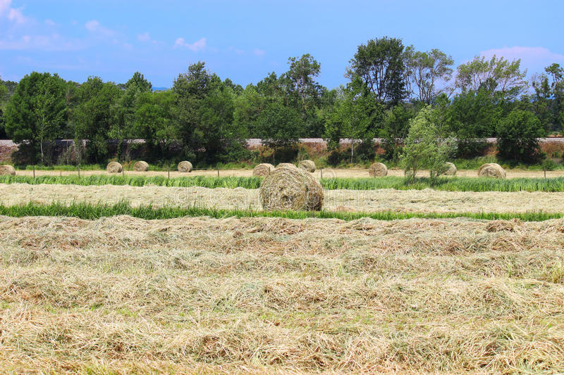 Beveled hay. On the field royalty free stock image