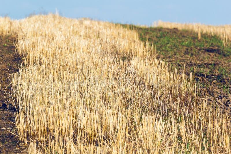 Beveled stalks of wheat stock images