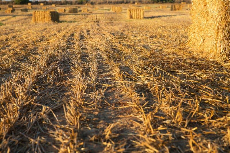 Beveled wheat field at sunset. Haystacks royalty free stock image