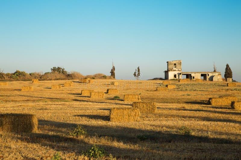Beveled wheat field at sunset stock photo