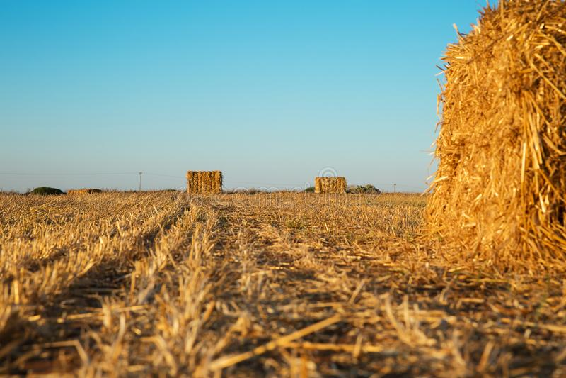 Beveled wheat field at sunset. Haystacks stock photo