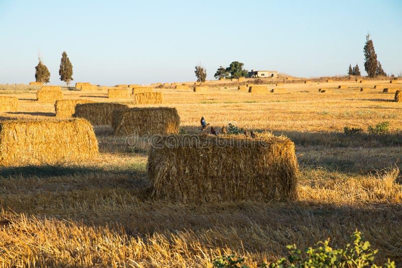 Beveled wheat field at sunset. Haystacks stock photography