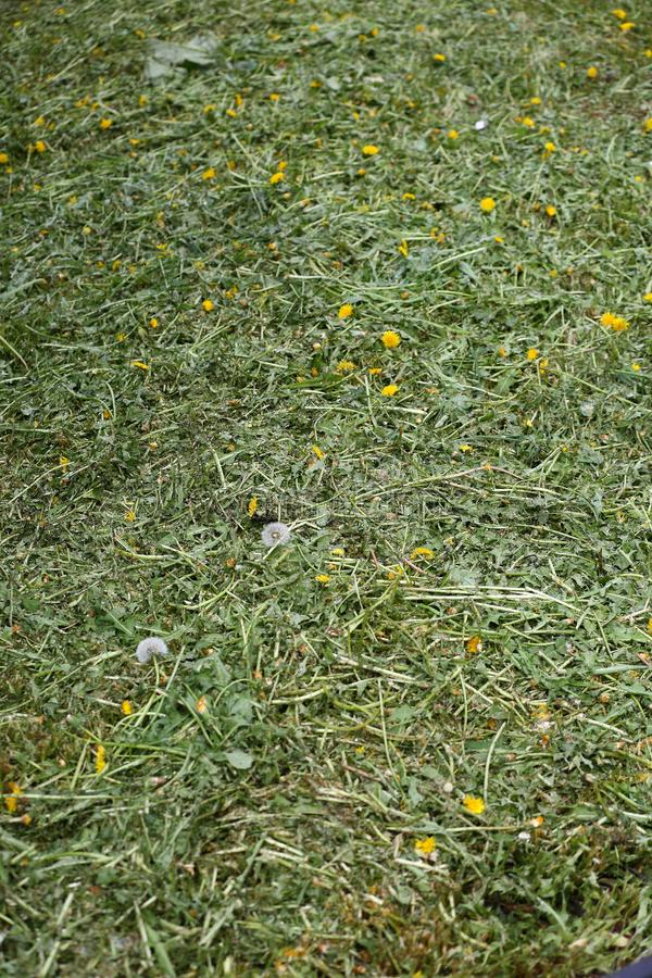 Beveled yellow dandelions on the green lawn. A beveled yellow dandelions on the green lawn stock photography