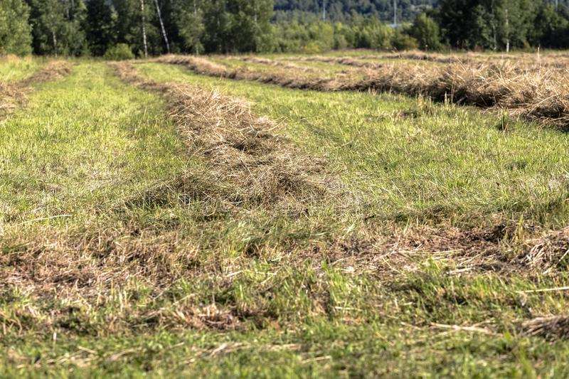 Bevelled hay is laid in neat rows. For drying before stacking and transporting it to storage stock images