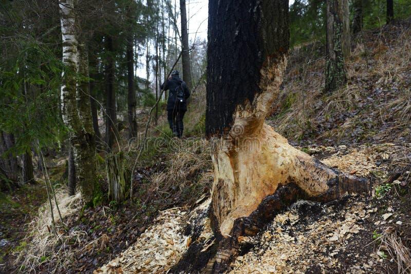 Bever gebeten boom stock afbeeldingen