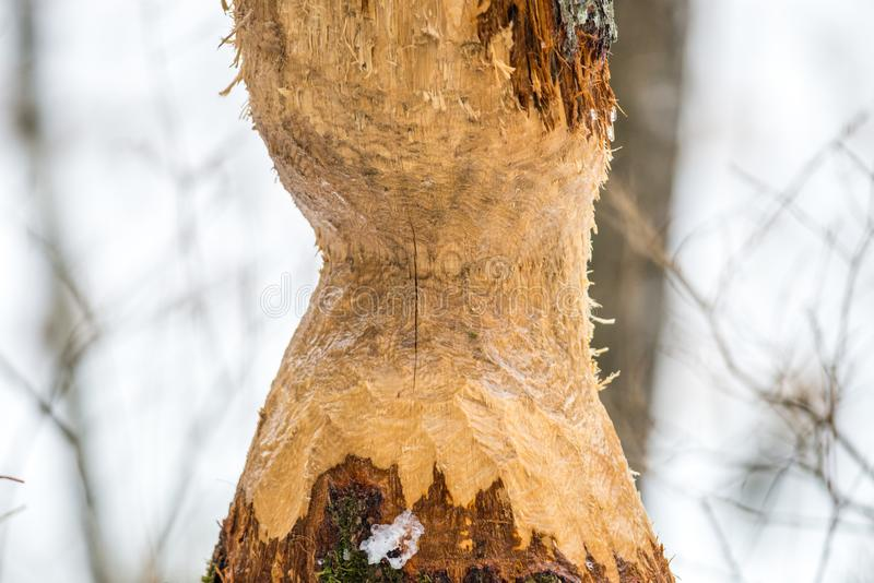 Bever gebeten boom in de winterbos stock afbeeldingen