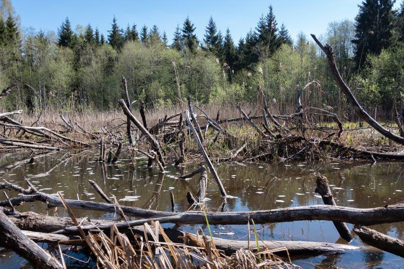 bever overstroomd gebied in het bos royalty-vrije stock foto's