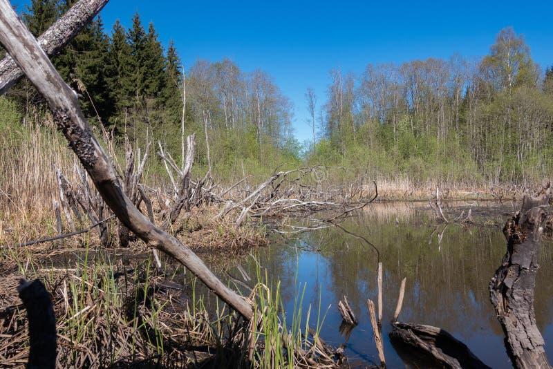 bever overstroomd gebied in het bos stock fotografie