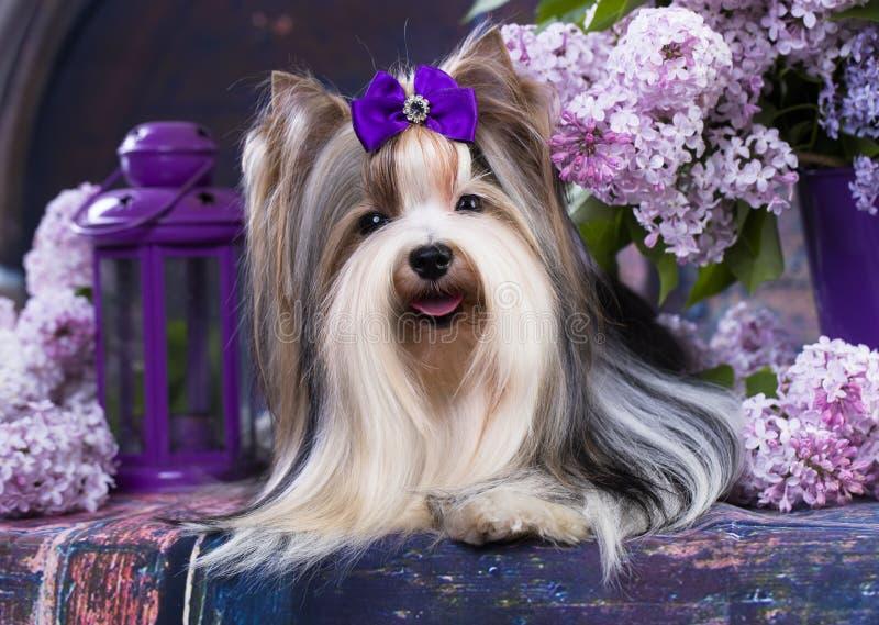 Bever Terrier en lilac bloemen royalty-vrije stock fotografie