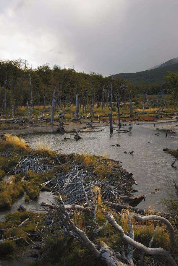 Beverdam in een rivier met mooie kleuring van het gras tijdens gouden uur royalty-vrije stock afbeelding
