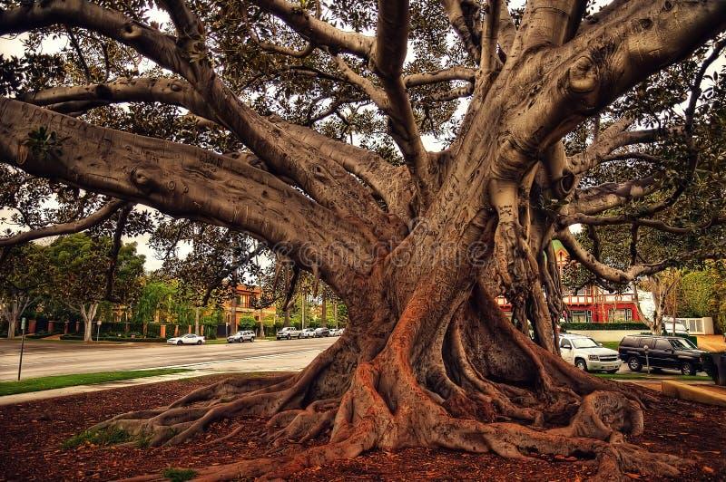 Beverly Hills Fig Tree royaltyfri foto