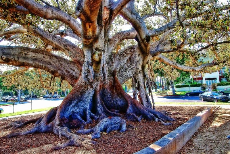 Beverly Hills figi drzewo zdjęcie royalty free