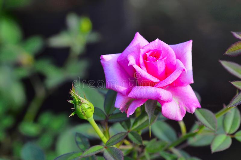 Beverly Hybrid Tea Rose nära Pune, Maharashtra royaltyfria foton
