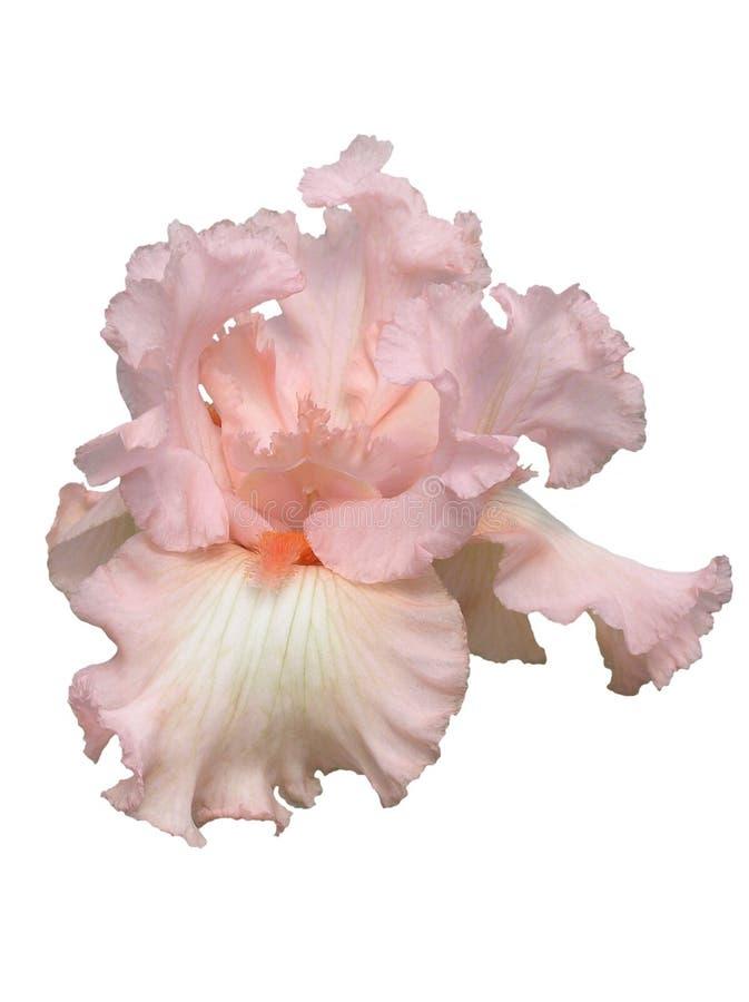 Beverly Sills Iris Hybrid royalty free stock photography