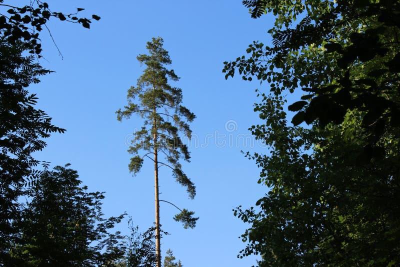 bevindende pijnboom onder de bomen tegen de blauwe hemel stock foto's