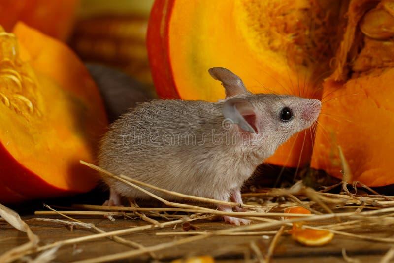Bevindt de close-up grijze muis zich dichtbij oranje pompoen in de voorraadkast royalty-vrije stock fotografie