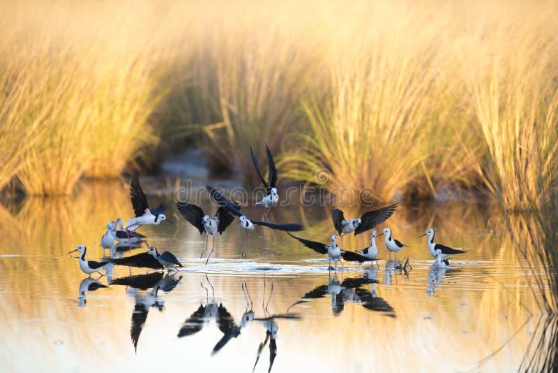 Bevingade styltor för svart, Karumba, Queensland royaltyfria bilder