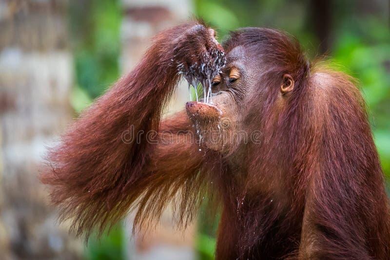 Bevitori del bambino dell'orangutan di Bornean immagine stock