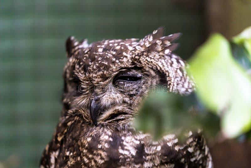 Bevlekt Eagle Owl met slechts één oog in de post van de vogelredding royalty-vrije stock foto's