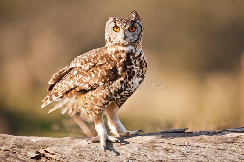 Bevlekt Eagle Owl South Africa stock afbeeldingen