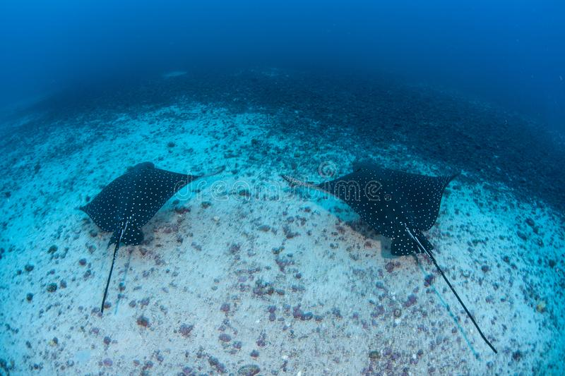 Bevlekt Eagle Rays in Diep Water stock foto