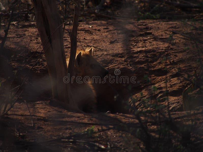 Bevlekt hyenajong stock foto