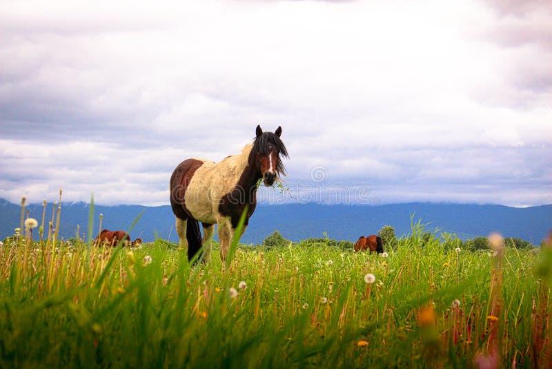 Bevlekt paard op een weide op een achtergrond van bergen en wolken royalty-vrije stock foto's