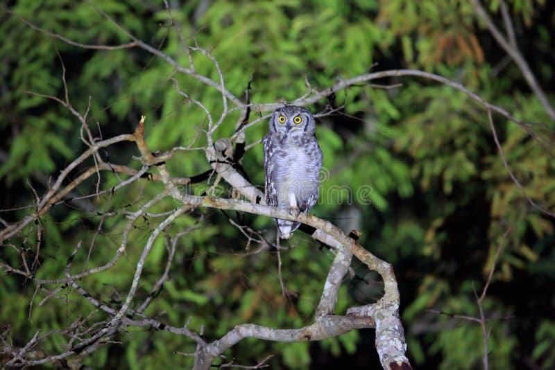 Bevlekte adelaar-uil royalty-vrije stock foto