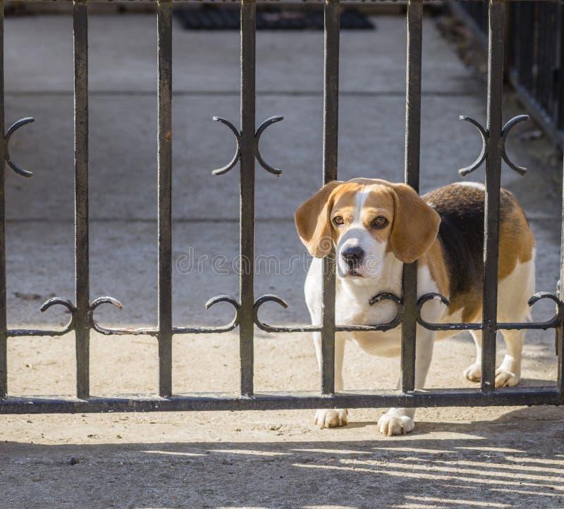Bevlekte Brakhond die door poortbars kijken royalty-vrije stock fotografie